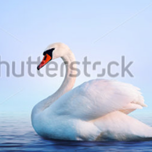 home_swan-400px